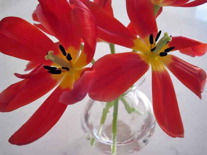 tulipa3.jpg
